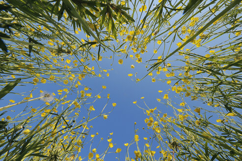 Germany, Bavaria, rape field (Brassica napus) in front of blue sky, view from below - RUEF001188
