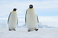 Antarctica, Antarctic Peninsula, Snow Hill Island, two Emperor Penguins (Aptenodytes forsteri) walking - RUEF001159