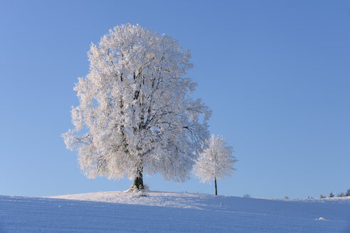 Switzerland, two frost-covered lime trees on a hill in front of blue sky - RUEF001162
