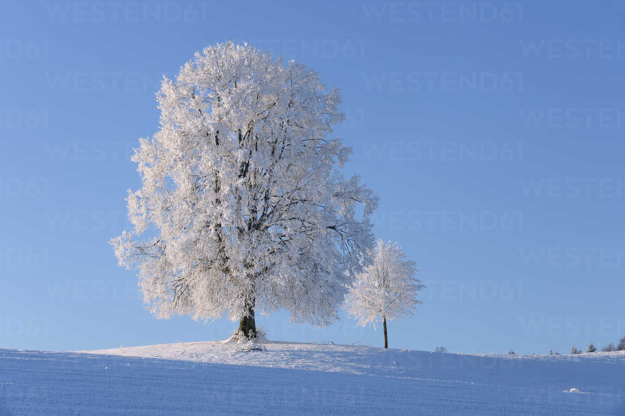 Switzerland, two frost-covered lime trees on a hill in front of blue sky - RUEF001162 - Martin Rügner/Westend61