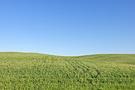 Spain, Andalusia, Malaga Province, Ronda, view to green wheat field in front of blue sky - RUEF001167