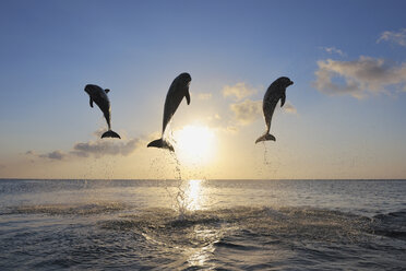 Honduras, Bay Islands, Roatan, three bottlenose dolphins (Tursiops truncatus) jumping in the air at sunset - RUEF001195