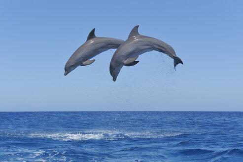 Honduras, Bay Islands, Roatan, two bottlenose dolphins (Tursiops truncatus) jumping in the air - RUEF001197