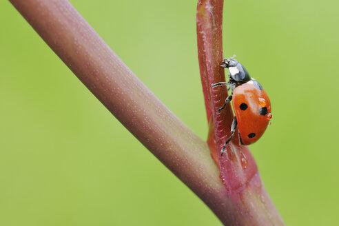 Germany, seven spot ladybird  (Coccinella septempunctata) on a twig - RUEF001199