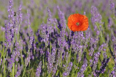 France, Provence, Valensole Plateau, Valensole, poppy (Papaver rhoeas) in lavender field (Lavendula angustifolia) - RUEF001201