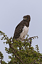 Africa, Kenya, Maasai Mara National Reserve, Martial Eagle (Polemaetus bellicosus) sitting on a tree - CB000280
