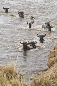Africa, Kenya, Maasai Mara National Park, A herd of Blue or Common Wildebeest (Connochaetes taurinus), during migration, wildebeests crossing the Mara River - CB000278