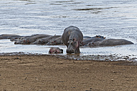 Africa, Kenya, Maasai Mara National Reserve, Hippopotamus or Hippo (Hippopotamus amphibius) with newborn young at Mara River - CB000266