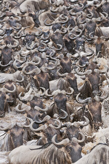 Africa, Kenya, Maasai Mara National Park, Close-up of Blue or Common Wildebeest (Connochaetes taurinus), during migration, wildebeest crossing the Mara River - CB000263