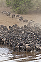 Africa, Kenya, Maasai Mara National Park, herd of blue wildebeests (Connochaetes taurinus) at Mara river, Gnu migration - CB000256