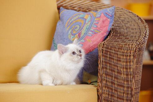 Sacred cat of Birma, lilac-tabby-point, sitting on basket-chair - HTF000335