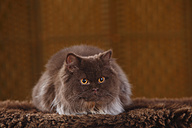 Brown British Longhair Cat lying on faux fur - HTF000334
