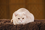 British Shorthair Cat lying on brown faux fur - HTF000347