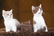 Three British Shorthair Cats, kitten, sitting on faux fur - HTF000328