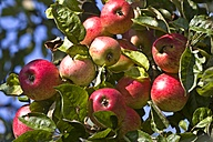 Germany, Hesse, Ripe red apples on tree, close-up - AMF001865