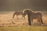 Germany, Hesse, Horses on pasture in morning light - AM001868