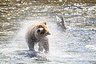 USA, Alaska, Katmai National Park, Brown bear (Ursus arctos) at Brooks Falls and shaking body - FOF005965
