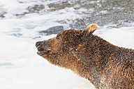 USA, Alaska, Katmai National Park, Brown bear (Ursus arctos) at Brooks Falls and shaking head - FOF005918
