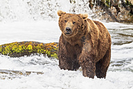 USA, Alaska, Katmai National Park, Brown bear (Ursus arctos) at Brooks Falls, foraging - FOF005973
