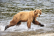 USA, Alaska, Katmai National Park, Brown bear (Ursus arctos) at Brooks Falls, walking - FOF005975