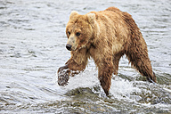 USA, Alaska, Katmai National Park, Brown bear (Ursus arctos) at Brooks Falls, foraging - FOF005996