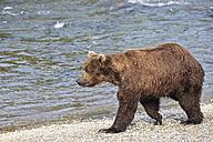 USA, Alaska, Katmai National Park, Brown bear (Ursus arctos) at Brooks Falls, walking - FO005997