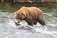 USA, Alaska, Katmai National Park, Brown bear (Ursus arctos) at Brooks Falls with caught salmon - FOF005957