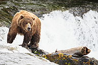USA, Alaska, Katmai National Park, Brown bear (Ursus arctos) at Brooks Falls, foraging - FOF005959