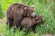 USA, Alaska, Katmai National Park, Brown bears (Ursus arctos) mating - FOF005999