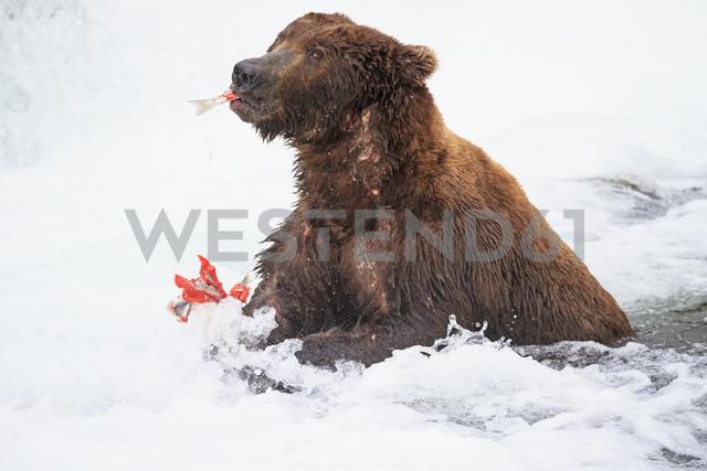 USA, Alaska, Katmai National Park, Brown bear (Ursus arctos) at Brooks Falls with caught salmon - FOF006015