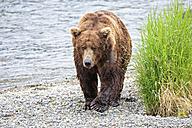 USA, Alaska, Katmai National Park, Brown bear (Ursus arctos) at Brooks Falls, walking - FOF006017