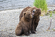 USA, Alaska, Katmai National Park, Brown bears (Ursus arctos) mating - FOF006020