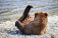 USA, Alaska, Katmai National Park, Brown bear (Ursus arctos) at Brooks Falls, lying - FOF006000