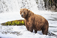 USA, Alaska, Katmai National Park, Brown bear (Ursus arctos) at Brooks Falls, foraging - FOF006002
