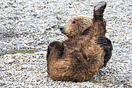 USA, Alaska, Katmai National Park, Brown bear (Ursus arctos) at Brooks Falls, lying - FOF005979