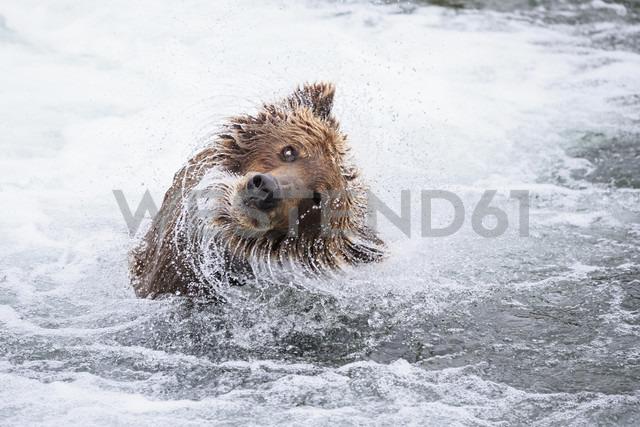 USA, Alaska, Katmai National Park, Brown bear (Ursus arctos) at Brooks Falls and shaking head - FOF006005 - Fotofeeling/Westend61