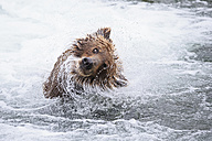 USA, Alaska, Katmai National Park, Brown bear (Ursus arctos) at Brooks Falls and shaking head - FOF006005