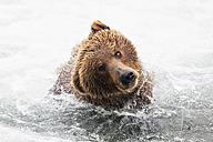 USA, Alaska, Katmai National Park, Brown bear (Ursus arctos) at Brooks Falls and shaking head - FOF006039