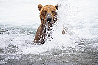 USA, Alaska, Katmai National Park, Brown bear (Ursus arctos) at Brooks Falls, foraging - FOF006032
