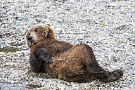 USA, Alaska, Katmai National Park, Brown bear (Ursus arctos) at Brooks Falls, lying - FO006033