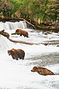 USA, Alaska, Katmai National Park, Brown bears (Ursus arctos) at Brooks Falls, foraging - FOF006042
