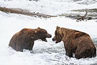 USA, Alaska, Katmai National Park, Brown bears (Ursus arctos) at Brooks Falls, fighting during foraging - FOF006023