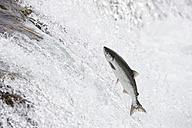 USA, Alaska, Katmai Nationalpark, King Salmon, Brooks Falls, Salmon run - FO005905