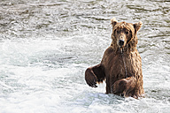 USA, Alaska, Katmai National Park, Brown bear (Ursus arctos) at Brooks Falls, foraging - FOF006036