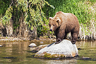 USA, Alaska, Katmai National Park, Brown bear (Ursus arctos) at Brooks Falls, foraging - FOF005982