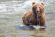 USA, Alaska, Katmai National Park, Brown bear (Ursus arctos) at Brooks Falls, foraging - FO005986