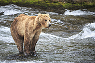 USA, Alaska, Katmai National Park, Brown bear (Ursus arctos) at Brooks Falls, foraging - FOF005989