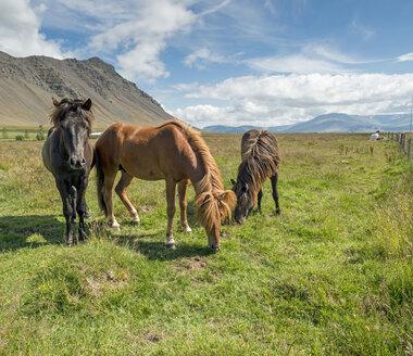 Iceland, Vestfiroir, Icelandic horses - HL000391