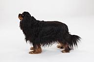 Cavalier King Charles Spaniel, male, black-and-tan - HTF000370