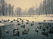 Winter, Saxony, Germany, duck pond, ducks, animals, birds, mallards - MJF000878